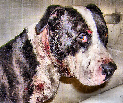 dog-fighting-victim